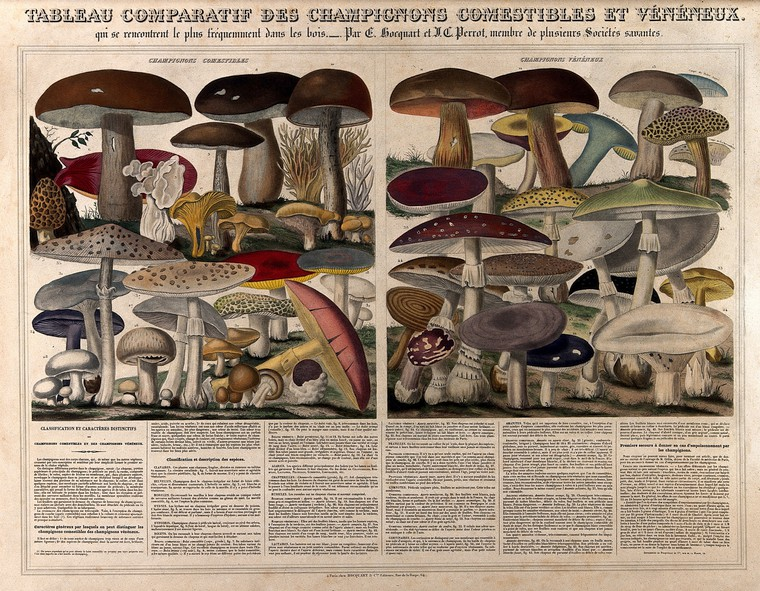 Engraving of mushrooms by Perrot, 1793-1879